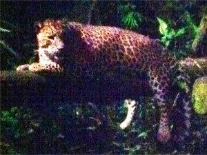 Währenddessen im Zoo: Die Nachtsafari ist eine der großen Attraktionen Singapurs. (Foto: spe)
