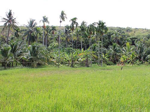 Nach einem kurzen Anstieg am Rande des Flusses eröffnet sich der Blick auf dieses Reisfeld. (Foto: spe)