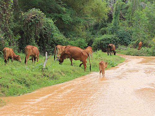 Unerwartete Gesellschaft: Eine Rinderherde. (Foto: spe)