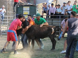 Mit vereinten Kräften und bloßen Händen fangen die Männer den Stier und bringen ihn zurück in seine Transportbox. (Foto: spe)