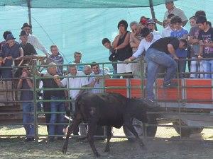 Provozieren, reizen, laufen: Bei der Garraiada wird der Stier körperlich nicht verletzt. Bei den Zuschauern in der provisorischen Arena kommt das gut an. (Foto: spe)