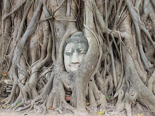 Das wohl beliebteste Fotomotiv in Ayutthaya: Ein in die Baumwurzeln eingearbeiteter Buddhakopf. Zu sehen auf dem Gelände des Wat Mahathat. (Foto: Sören Peters)