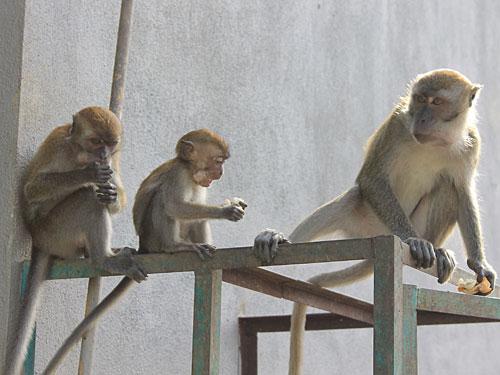 Eine Attraktion für sich sind die freilaufenden und alles andere als scheuen Affen. (Foto: Sören Peters)