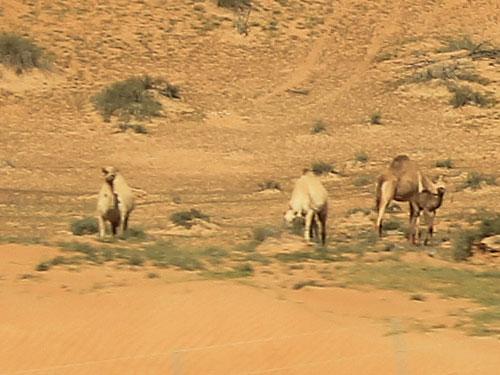 Kamele an der Autobahn E11 Richtung Dubai. Okay, es sind Dromedare, aber das hat ja auch schon eine Zigaretten-Marke recht eigenwillig ausgelegt. (Foto: Sören Peters)