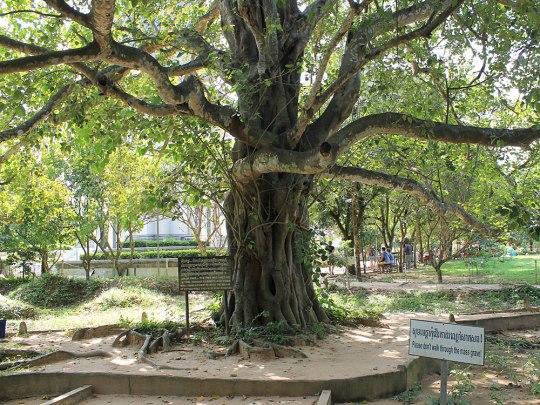 Während der Hinrichtungen waren in diesem Baum Lautsprecher installiert. Zum Klang von Revolutionsmusik wurden die Delinquenten erschlagen, um Munition zu sparen. (Foto: Sören Peters)