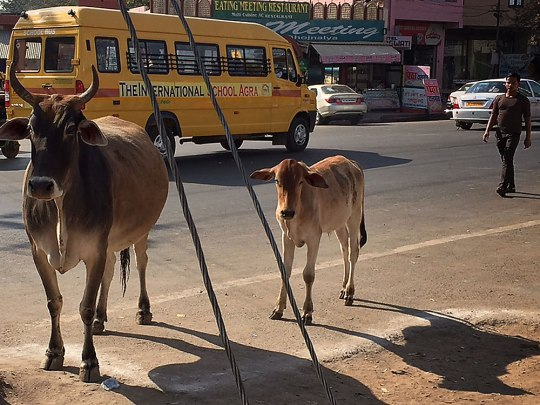 Ein bisschen Klischee muss sein: Kühe in Agra. (Foto: Sören Peters)