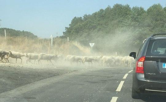 Das ist Serra live: Eine Schafsherde legt zwischen Prados und Linhares den Verkehr lahm. (Foto: Sören Peters)